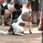 Parson Russel Terrier Rudi
